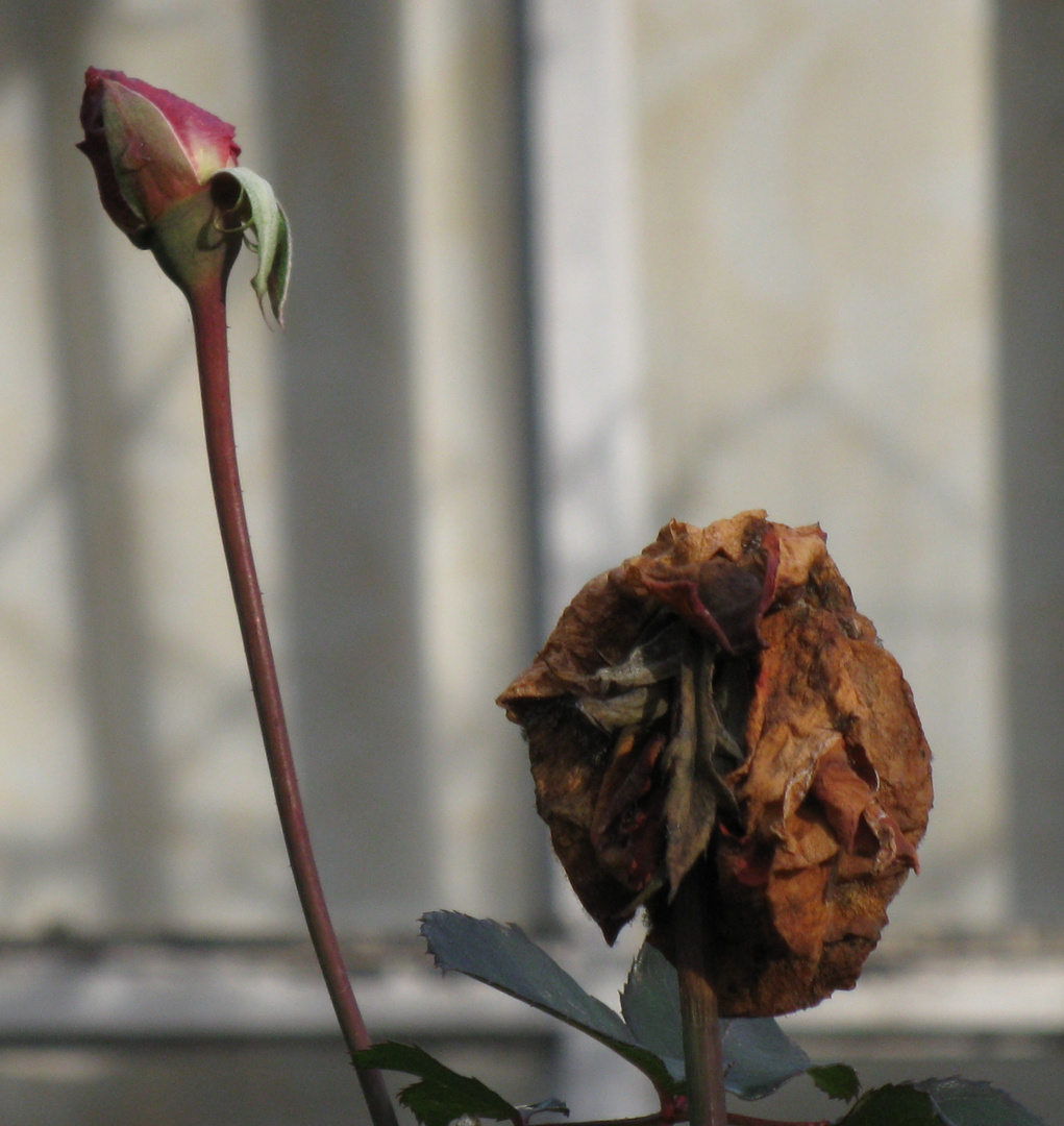 two November roses