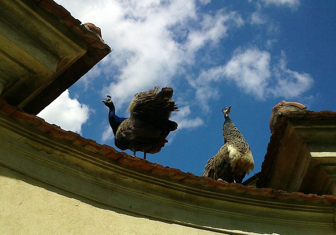 Two peacocks on the roof