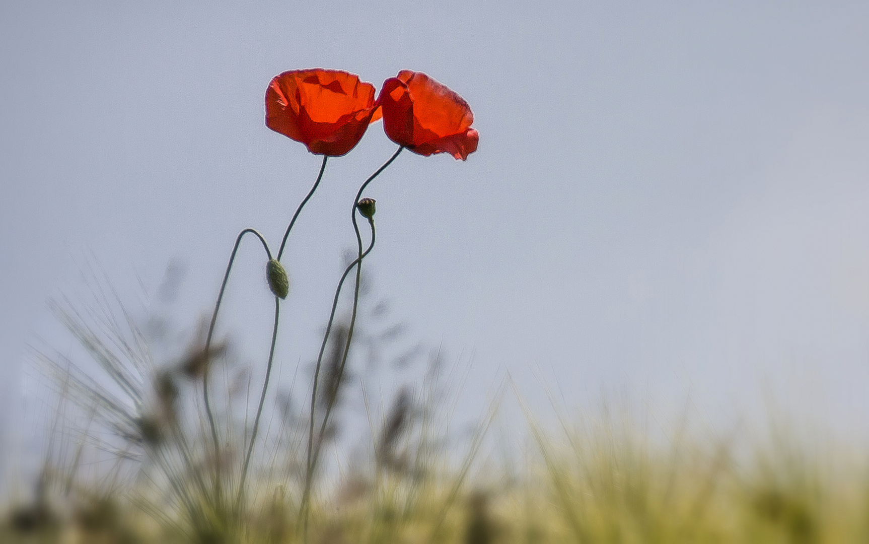 two poppies...