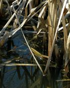 Typha Leaves