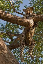 Typisch Leopard!