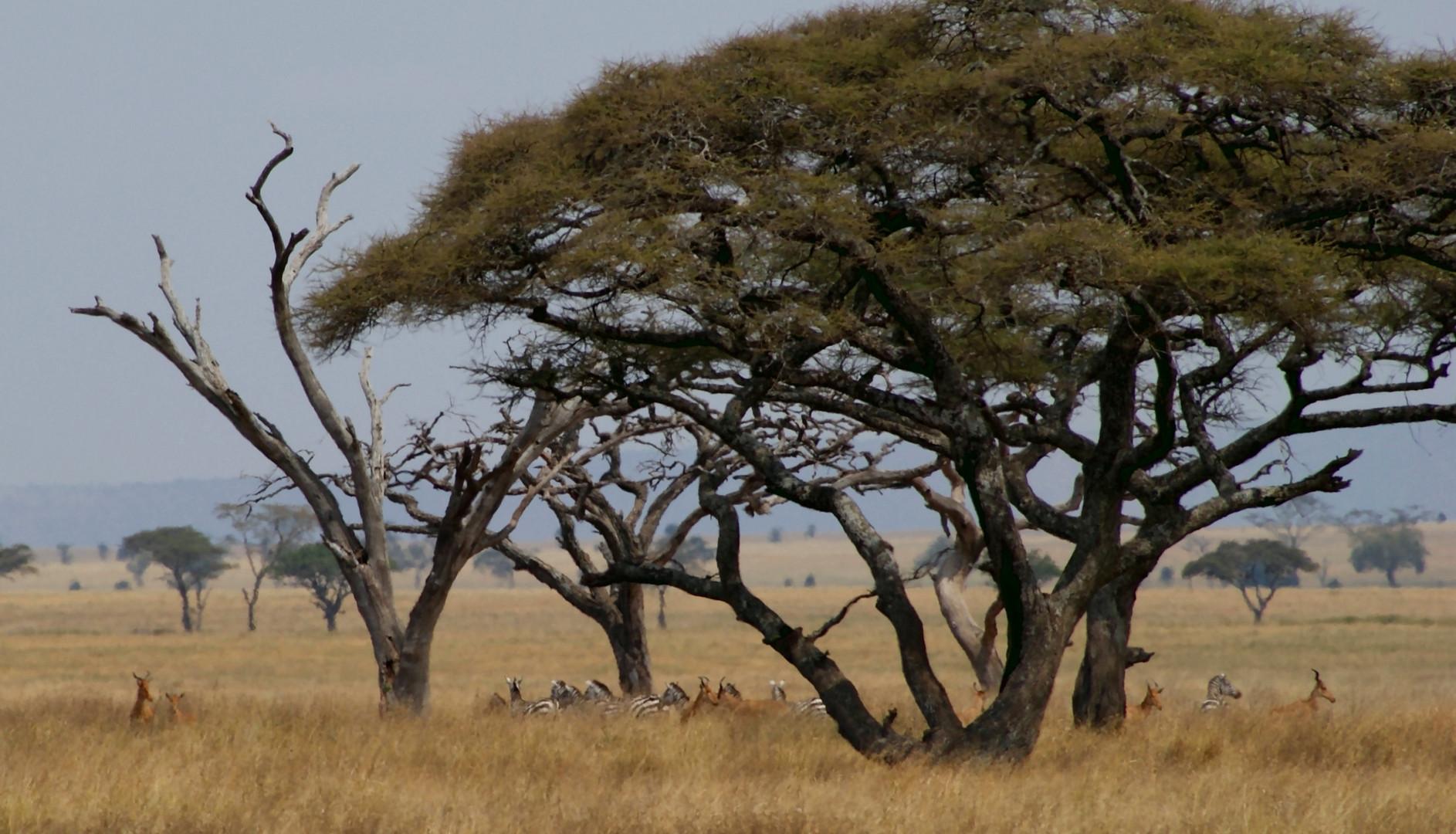 Typisch Serengeti