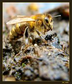Typische Honigbiene aus Bayern