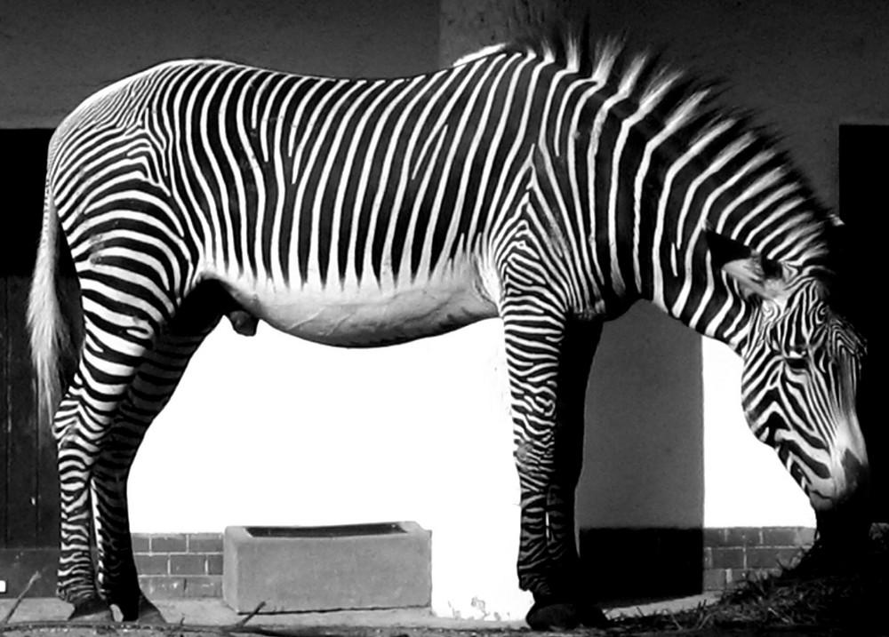 Ua vita in bianco e nero foto immagini animali zoo e - Pagine a colori in bianco e nero ...