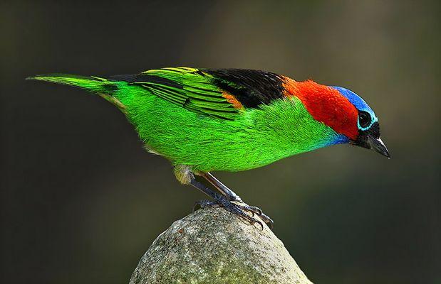 Ubatuba Bird