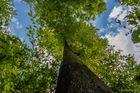Über den Bäumen ...