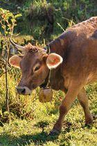 Über den Weg gelaufen eine Allgäuer Kuh