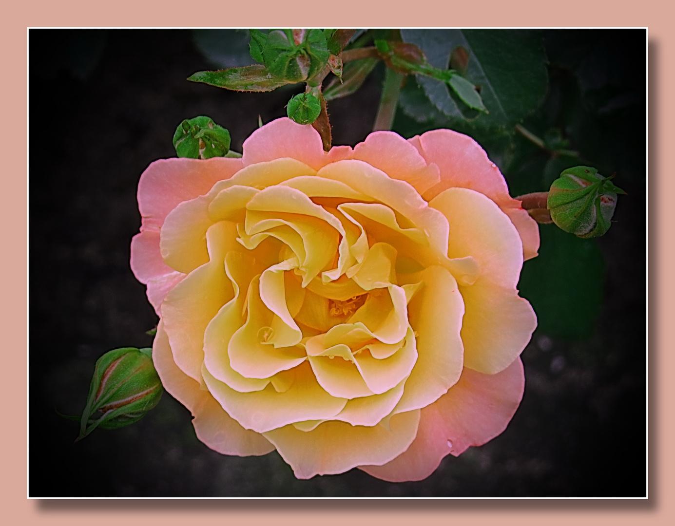 über Zaun hängende Rosen