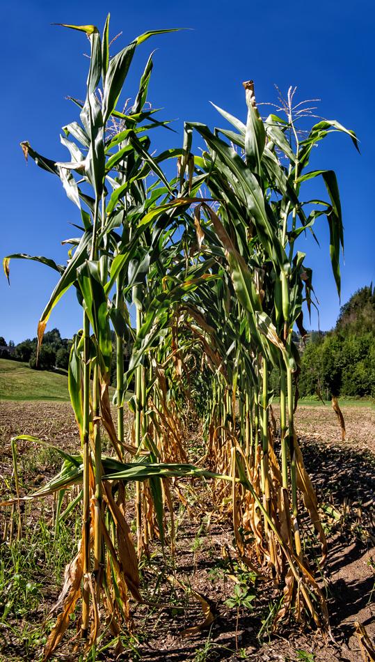 Überbleibsel eines verdorrten Kukuruzfeldes!
