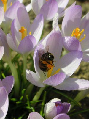 Übereifriges Bienchen