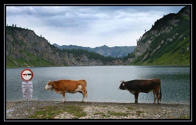Überhohlverbot für Rindviecher