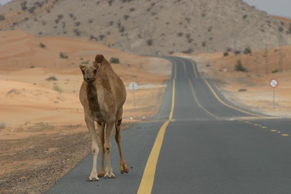 Überholverbot - Kamel zu Weihnachten in der Wüste