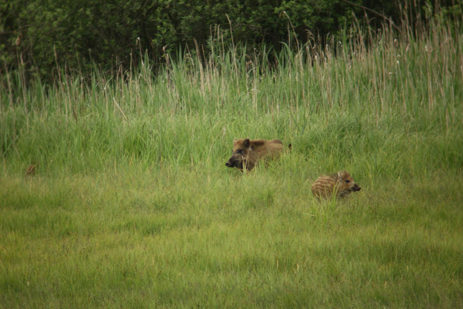 Überläuferbache jagd Frischlinge 2