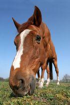 Überlaßt das Denken den Pferden, die haben die größeren Köpfe...