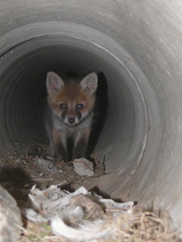 Überraschungsrohr (mit Fuchs)