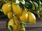 Üppige Zitronen