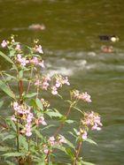 Uferblume