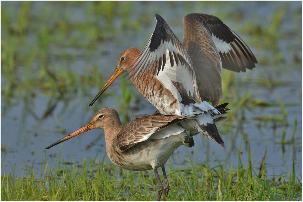 Uferschnepfen bei der Paarung . . .