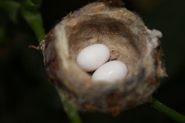 Œufs de colibris dans le nid