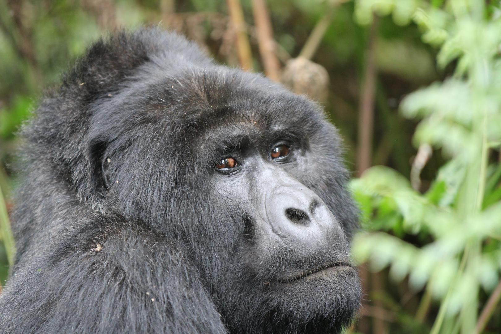 Uganda Berggorilla