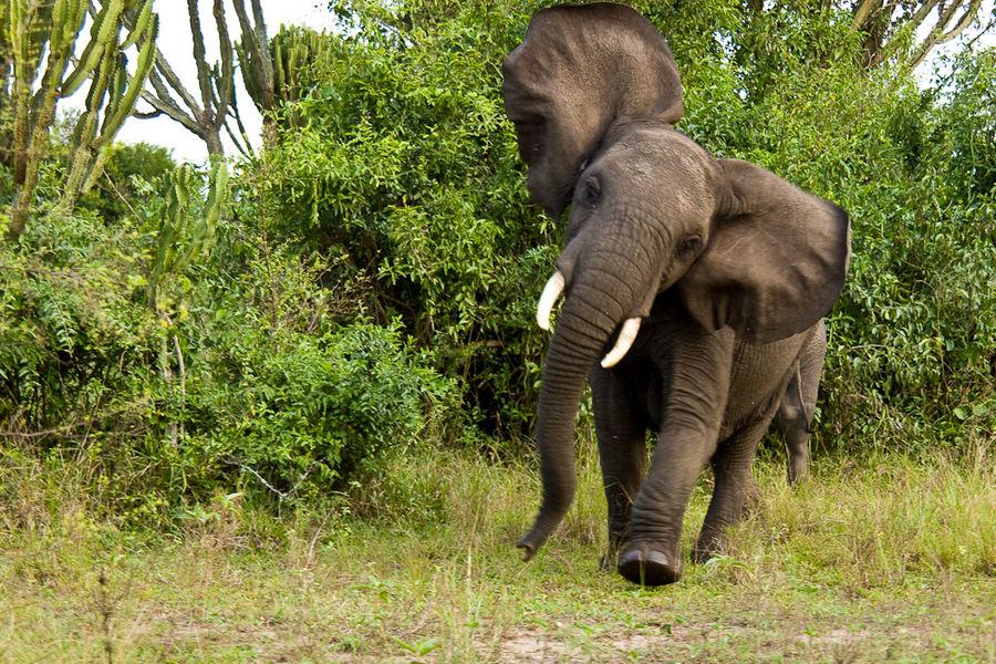 Uganda - Elefant im Queen Elisabeth NP