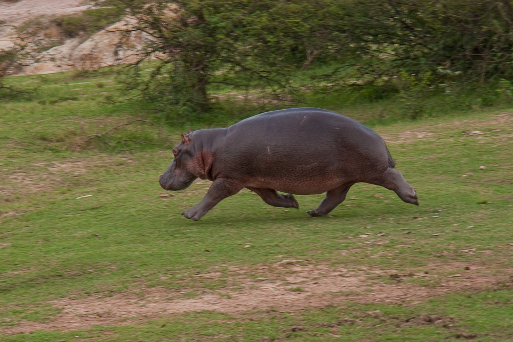 Uganda - Flusspferd (1)