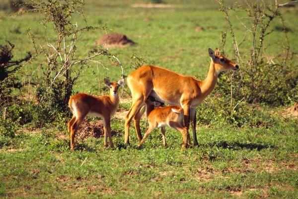 Uganda Kobs Familie