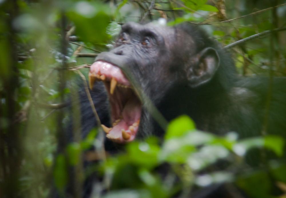Uganda - Schimpanse im Kibale Forest NP