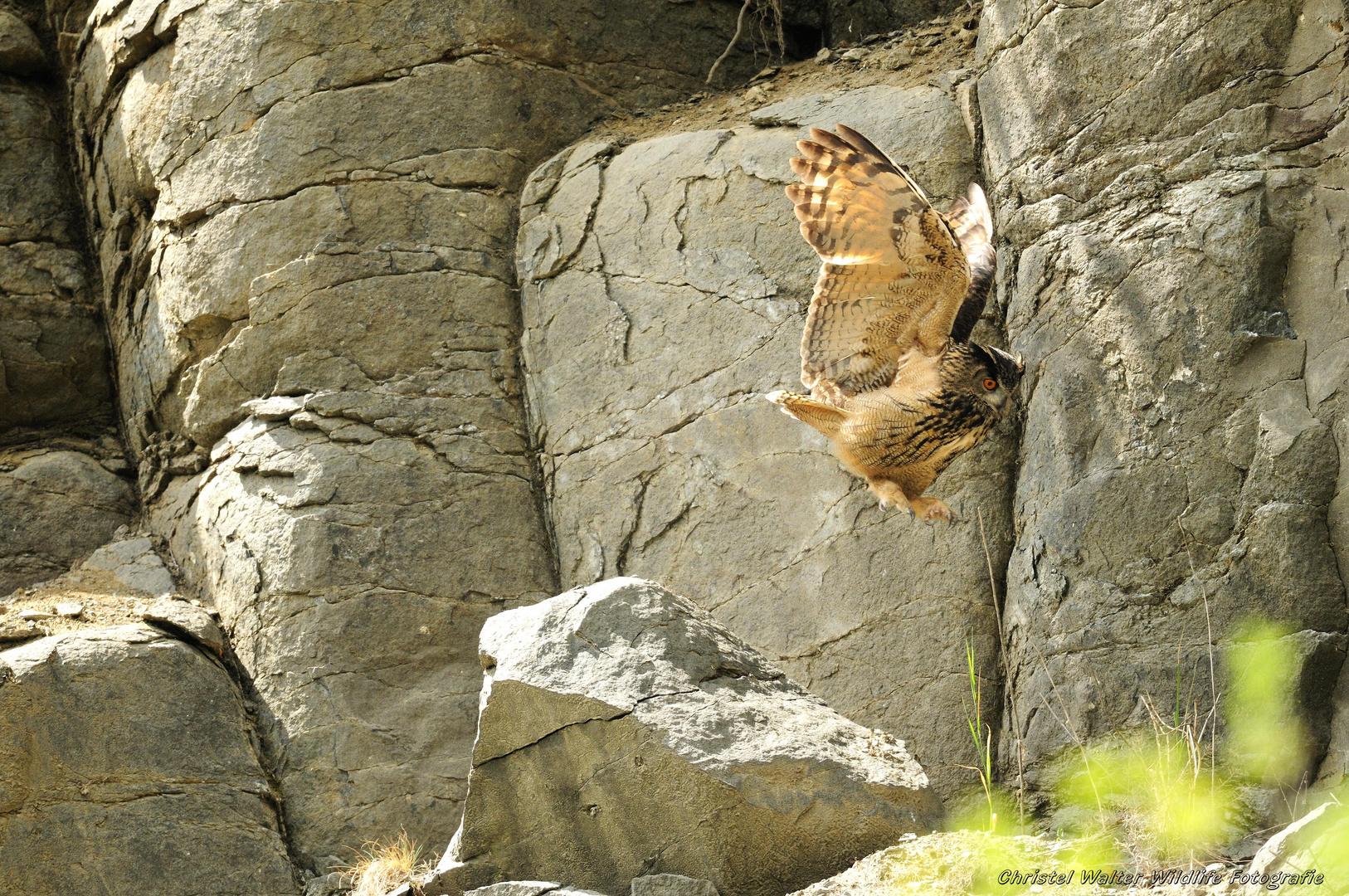 Uhu - Der Altvogel
