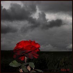Ultima rosa
