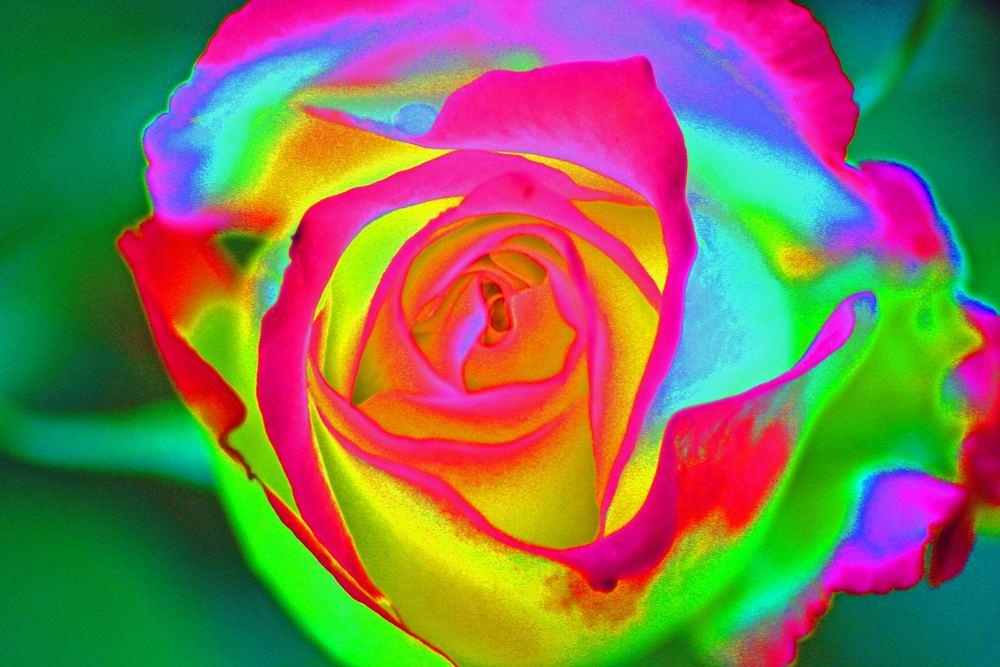 Ultra-Rose..