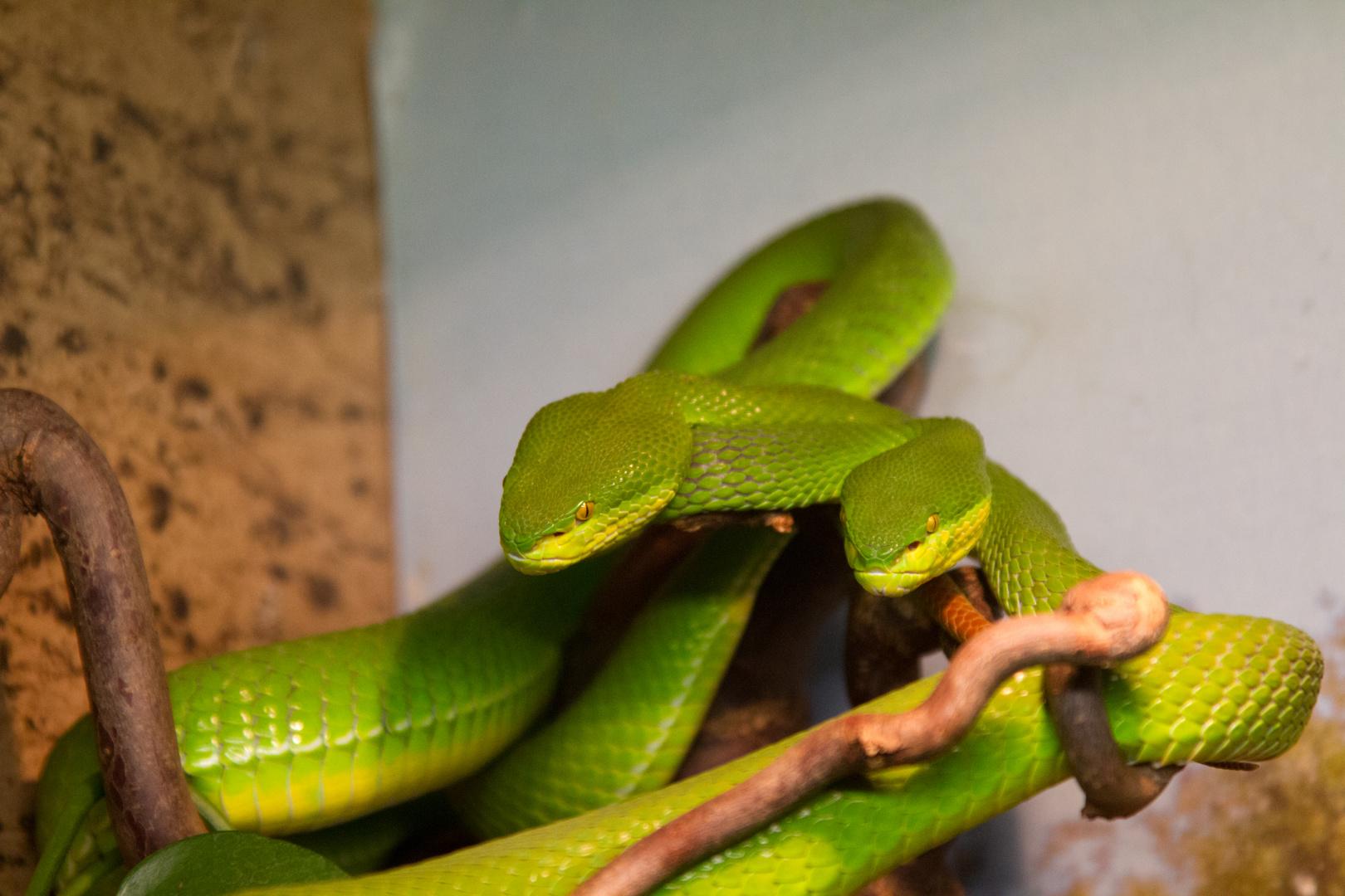 umschlängelnde Schlangen