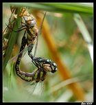 Un amour de libélulle