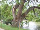Un arbre ancien au Parc des Buttes Chaumont