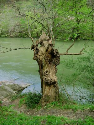 un arbre blessé