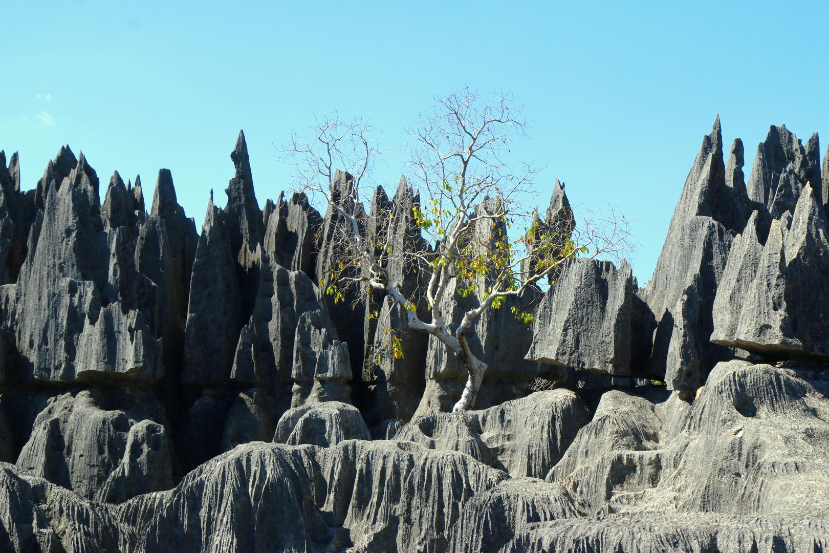 un arbre s'accroche aux Tsingy