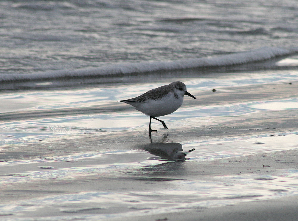 un bécasseau sanderling