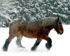 Un bel exemplaire de cheval de trait Belge.