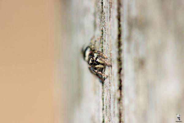Un bien étrange zèbre - Salticus scenicus