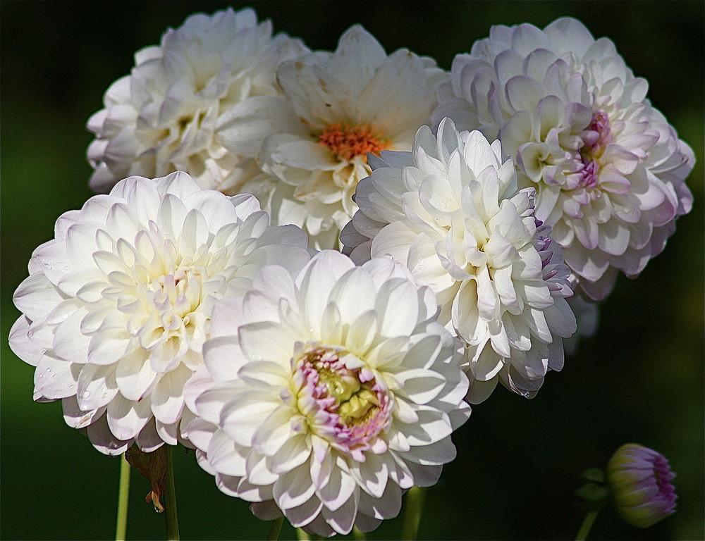 Un bouquet de pompons