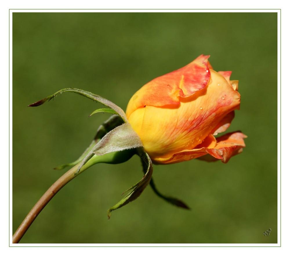 Un bouton de rose ....