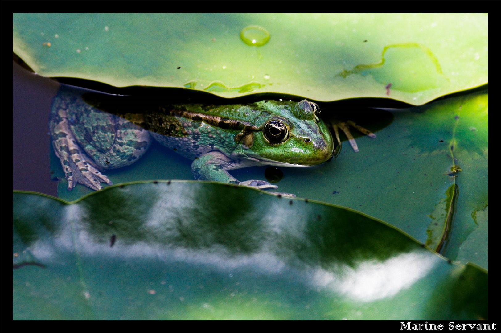Un cache-cache avec une grenouille