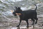 Un cane in acqua con bastone