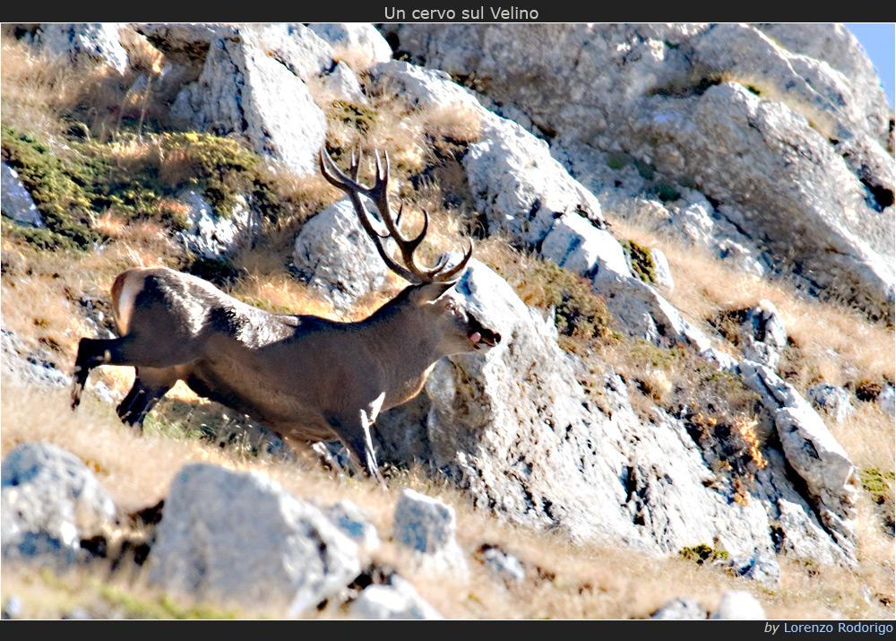 Un cervo sul Velino