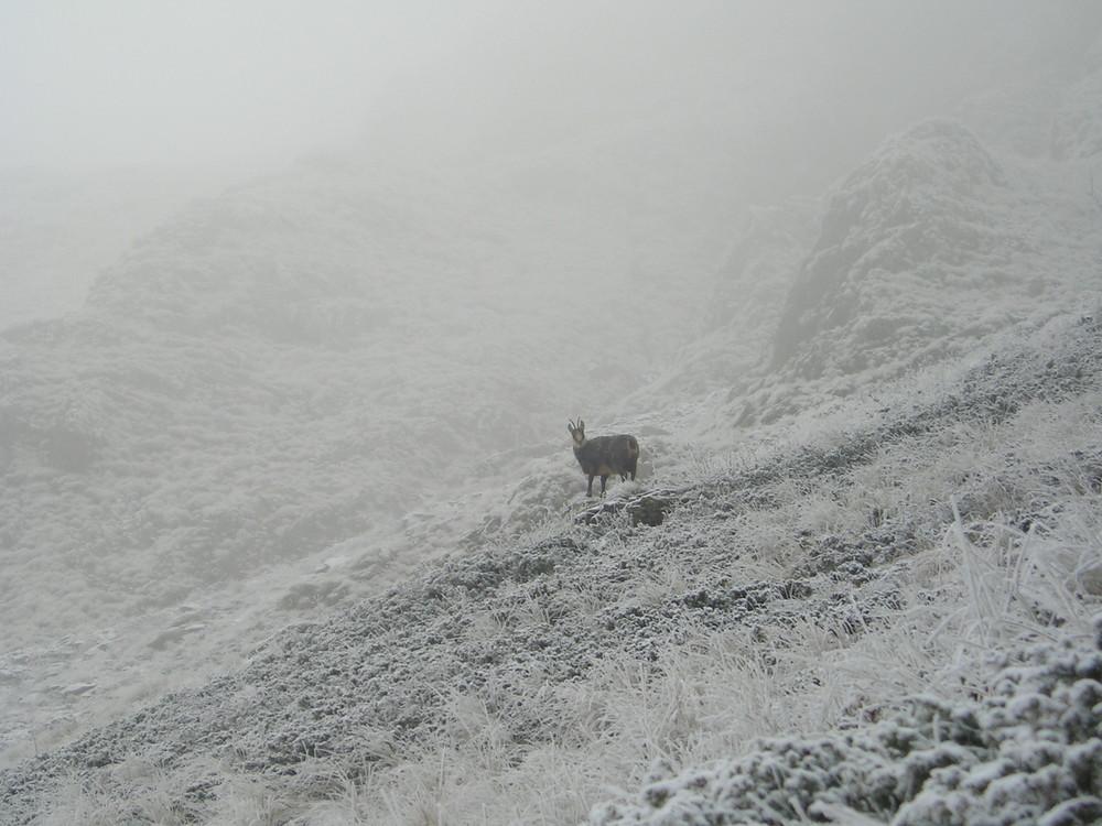 un chamois surpris par le froid