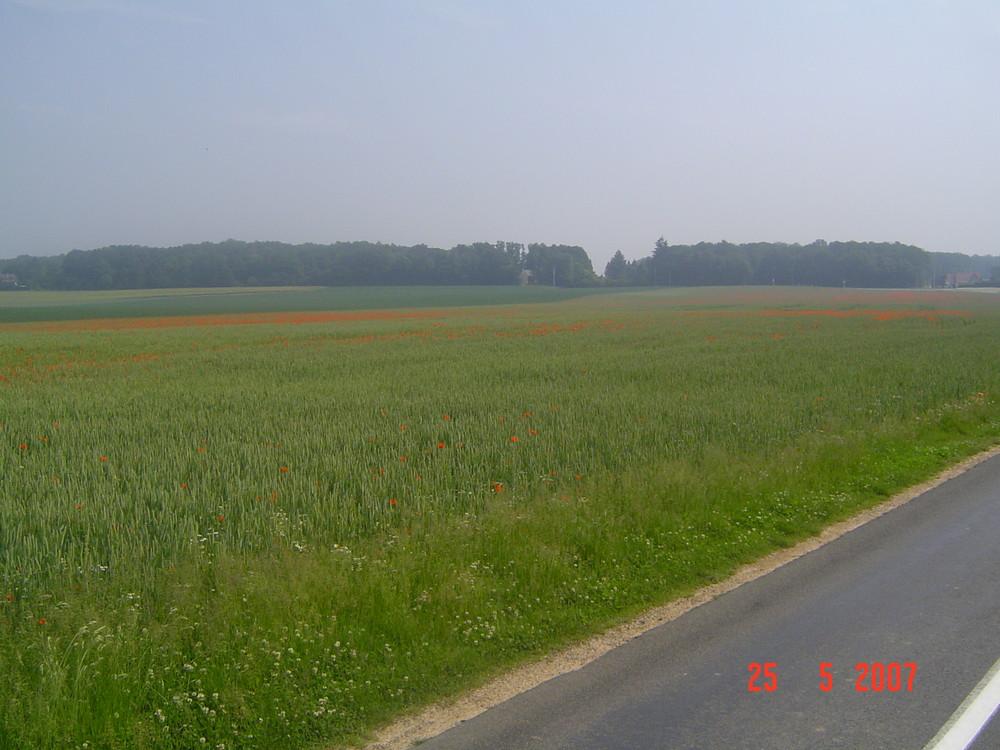 un champ de blé avec des coquelicots