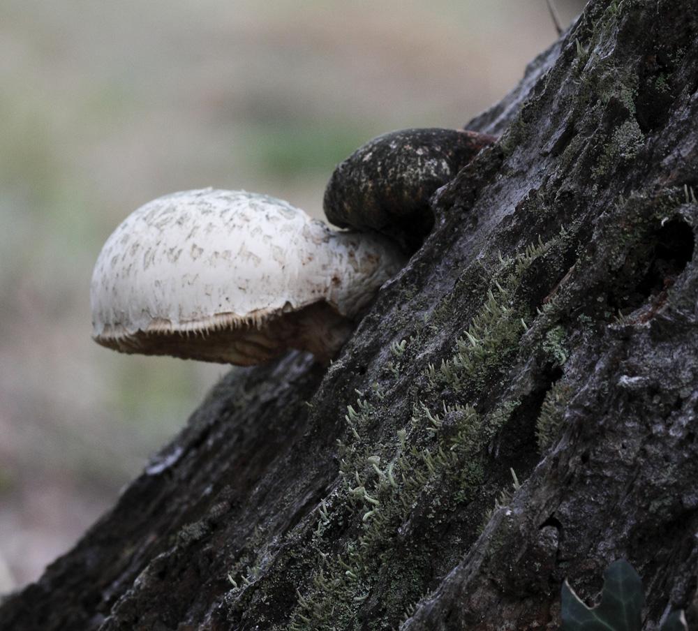 un champignon blanc !!!