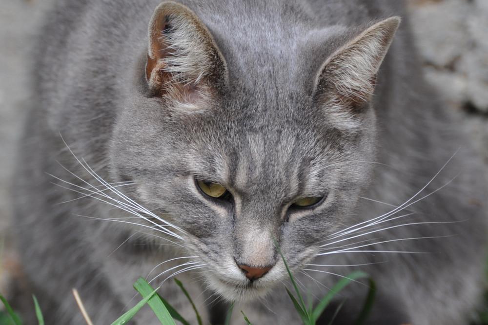 Un chat gris d'amour peut-être ?
