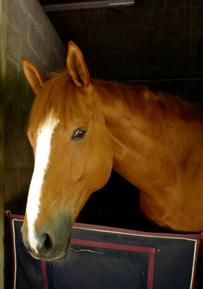 Un cheval dans son box