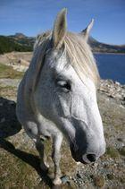 Un cheval des Pyrénées